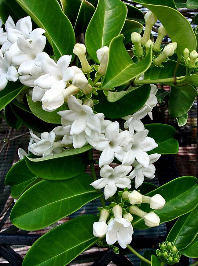 Stephanotis vine, an old-fashioned favorite. They are supposed to smell wonderful.