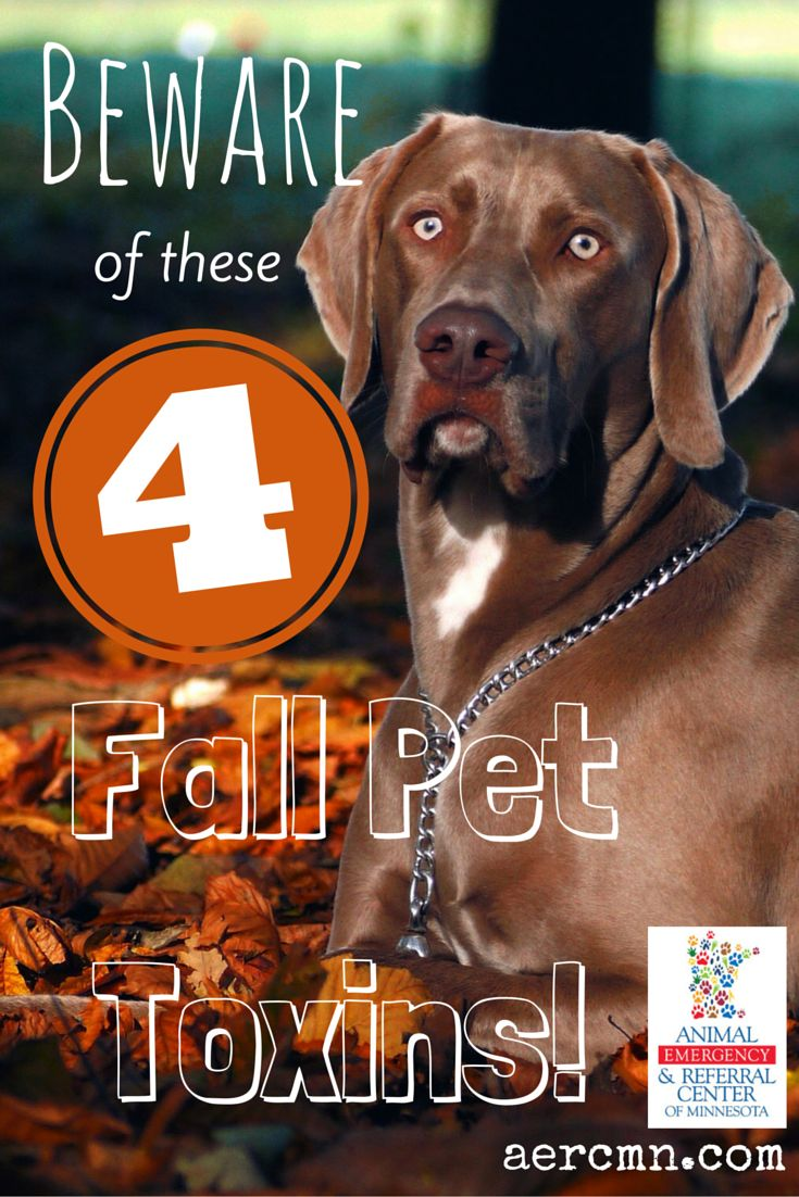 It's almost fall! If you have pets, make sure you keep them safe from these four fall toxins! If your pet gets into any of these, call your veterinarian or a pet poison hotline ASAP! #pettoxins #petsafety #pethealth #pets #pettips #tipsforpetowners