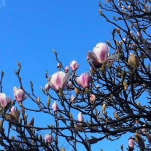Blue Sky and no filter needed on Instagram! Magnolia Blooming. Spring Colour. Natasha Marshall Blog