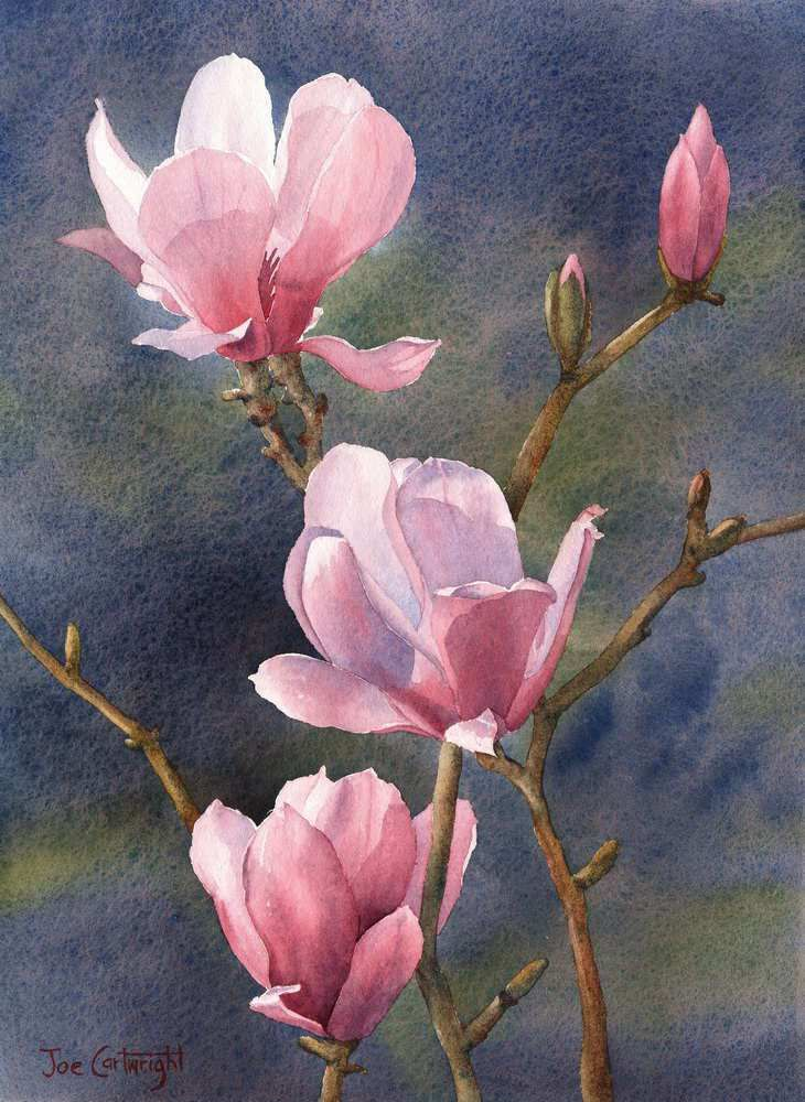 Pink Magnolias with Dark Background watercolor painting