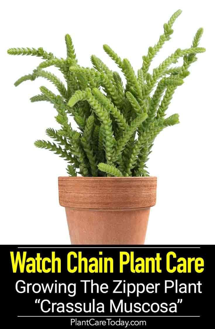 Growing Crassula Muscosa Tips On Watch Chain Plant Care Plants