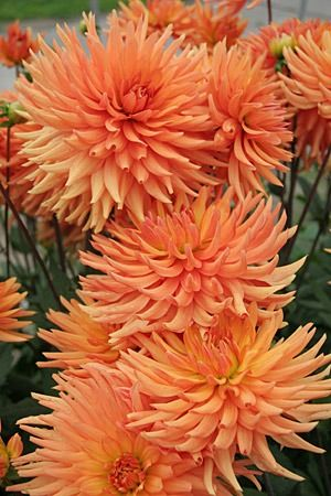"Ludwig Helfert Dahlia (8"" bloom; 3' bush): brilliant orange flowers; cactus dahlia."