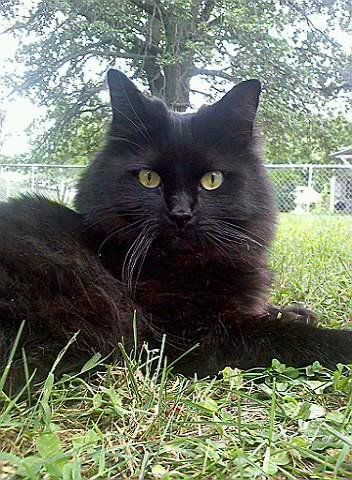 Pictures of Chantilly/Tiffany Cat Breed
