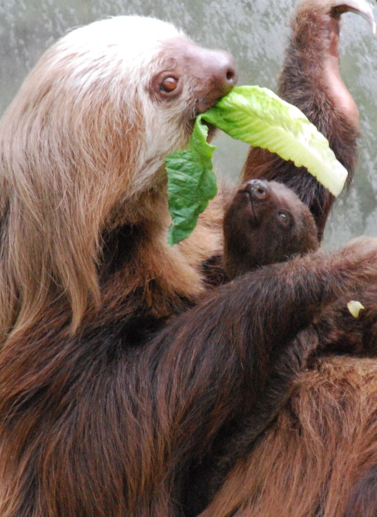 Best Sloths Images On Pinterest Sloths Baby Sloth And - 5 month old baby and sloth are the most unlikely of best friends