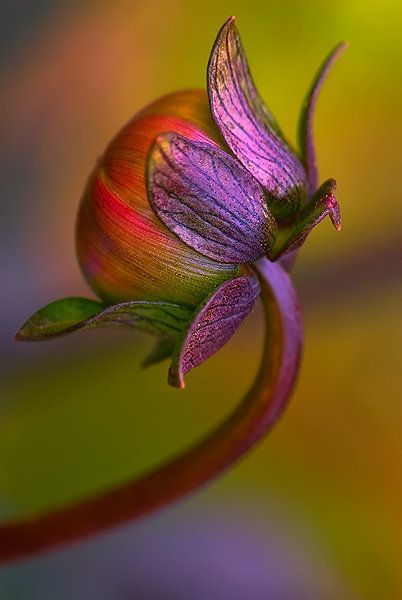 The colors in this are so beautiful that I think I will have to paint something like this. lalulutres:  Dahlia Bud