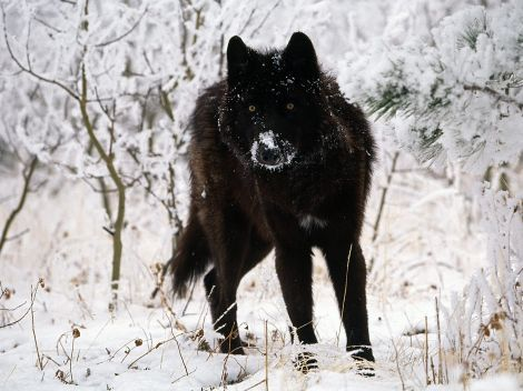 Love the black wolves the best...I think: Animals, Black Wolf, Gray Wolf, Blackwolf, Snow, Creatures, Beautiful Eyes, Wolf Pack, Black Wolves