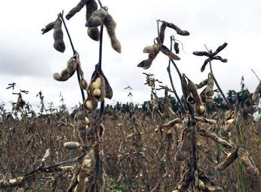La cosecha de soja en la geografía entrerriana se encuentra cerca de su finalización, luego de atravesar un escenario climático totalmente adverso en el mes de abril, proyectándose que al día de la fecha se ha trillado el 90% el área total implantada