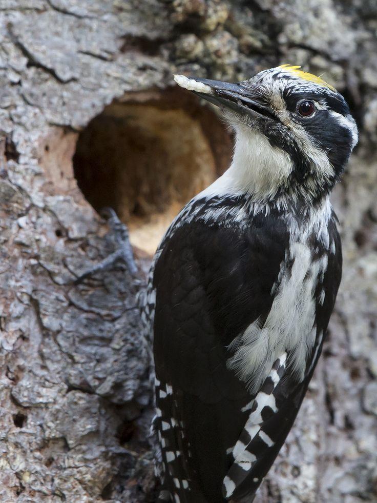 Three-toed woodpecker/Tretåig hackspett Härjedalen For more pictures see http://niclasahlberg.se/portfolio-item/tretaig-hackspett/