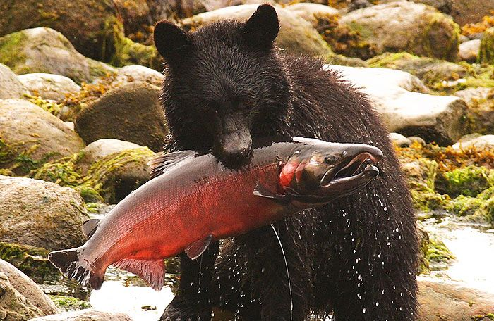 Bear Watching, Tofino
