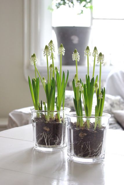 White Grape Hyacinths in clear glass pots ~ I can totally use candle jars for this