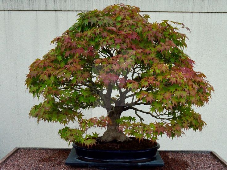 Smooth Japanese Maple Bonsai by All-Natural-Spirit.deviantart.com on @DeviantArt