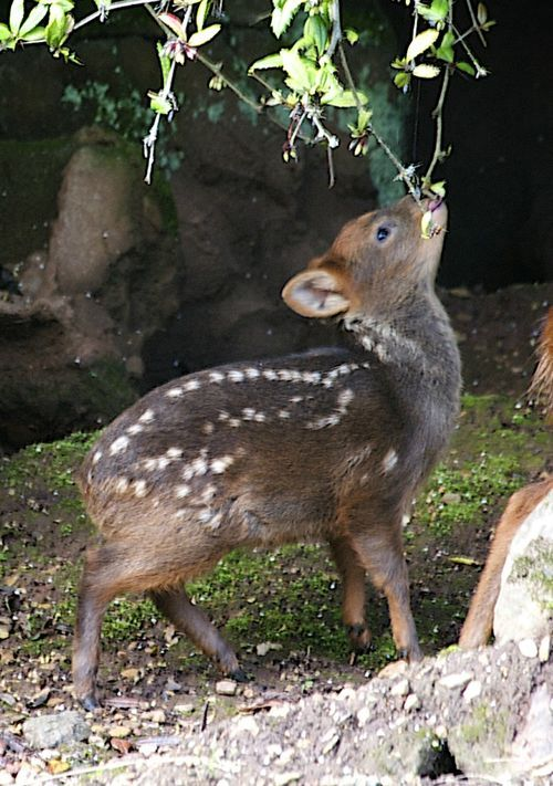 A baby Pudu, the world's smallest species of deer, made his debut at the UK's Bristol Zoo Gardens. Pudus are classified as a vulnerable species. They live in lowland temperate rainforests in Chile and south-west Argentina.