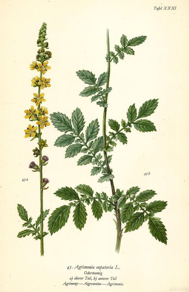 ODERMENNIG AGRIMONIA EUPATORIA L Botanik Farbdruck Antiker Druck Antique Print