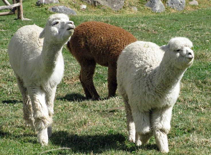 The #alpaca lives on the Peruvian #Andes at incredible temperatures ranging from 30 degrees centigrade above zero during the day to 15/20 degrees centigrade below zero during the night. Owing to these characteristics, the soft hair of #alpaca gives the possibility of working refined fabrics. Even if the fabric looks extremely light, it protects from cold temperature better than a real fur