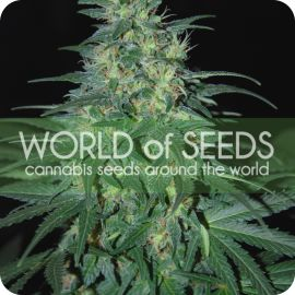 South African Kwazulu - strain - World of Seeds | Cannapedia