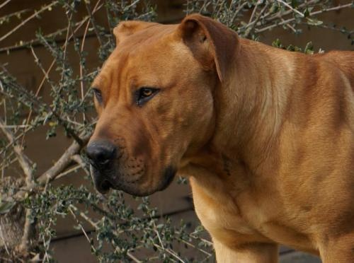crespo south african boerboels lion dog dogs cats