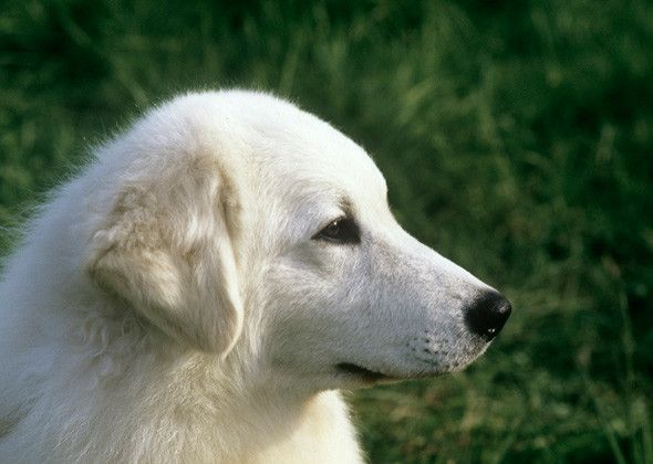 The Kuvasz is an ancient livestock guardian breed from Hungary