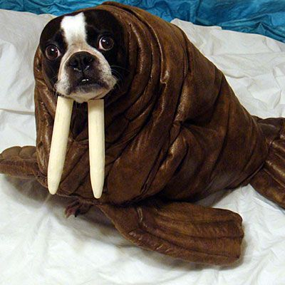 Reason #3948757124 I shouldn't be allowed to have pets: I would do this to them for Halloween.
