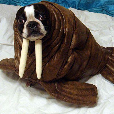 Walrus pet Halloween costume.