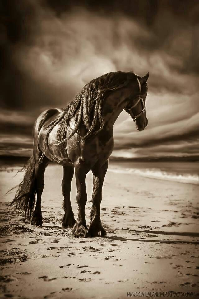 Friesian Horse~ It is believed that during the Middle Ages, ancestors of Friesian horses were in great demand as war horses throughout continental Europe. Through the Early Middle Ages and High Middle Ages, their size enabled them to carry a knight in armor.