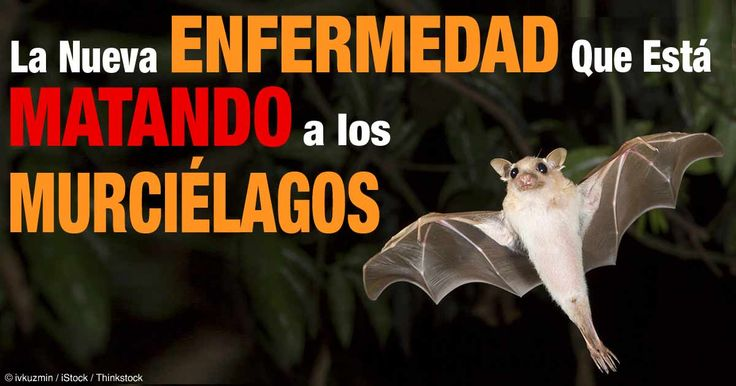 El hongo que asesina a los murciélagos, conocido como síndrome de la nariz blanca continúa extendiéndose en el continente de América del Norte, matando a casi 6 millones de murciélagos. http://mascotas.mercola.com/sitios/mascotas/archivo/2014/11/18/murcielagos-en-peligro.aspx