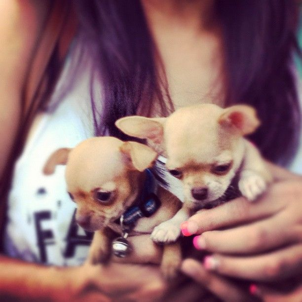 Met these little guys in the airport #chiwawa