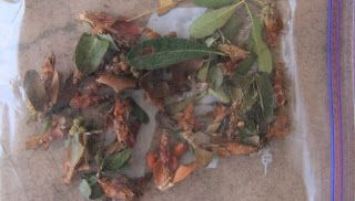 Bag Worms, Oh My!!! | Terry Spear | How to get rid of bagworms! Bag 'em!