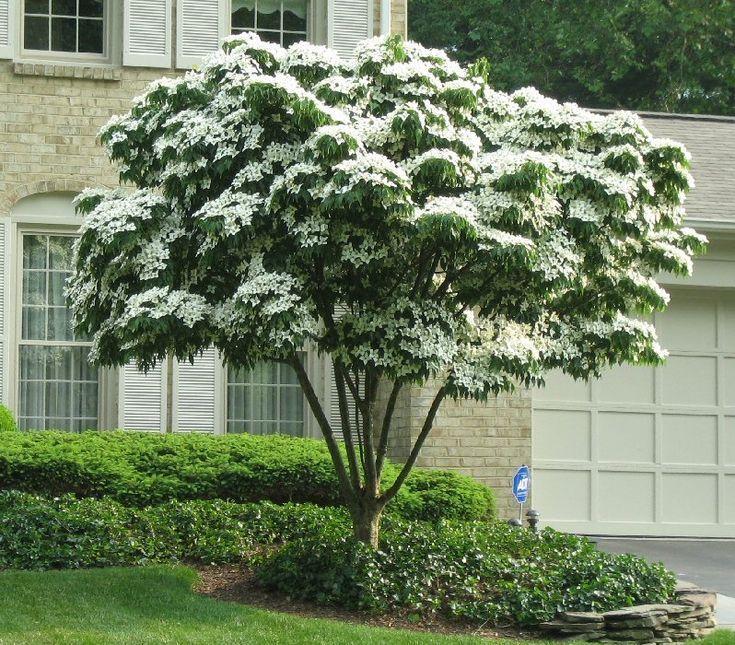 Japanischer weißer blühender Hartriegel (Cornus kousa) Der perfekte Terrassenbaum: Attraktivität