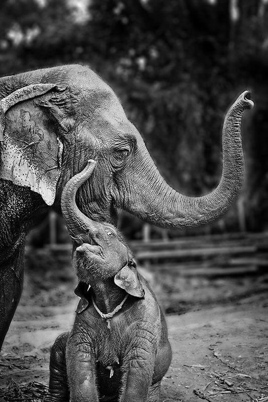 Happy Elephant Canvas Print / Canvas Art by Werachai Sookruay