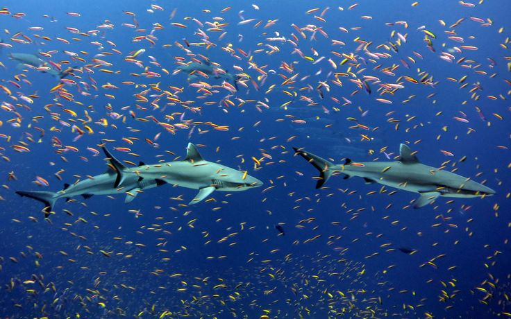 Grey reef sharks and colorful schools of​ ​​anthias in the waters of Jarvis Island, Pacific Remote Island Areas Marine National Monument. Credit: Kelvin Gorospe