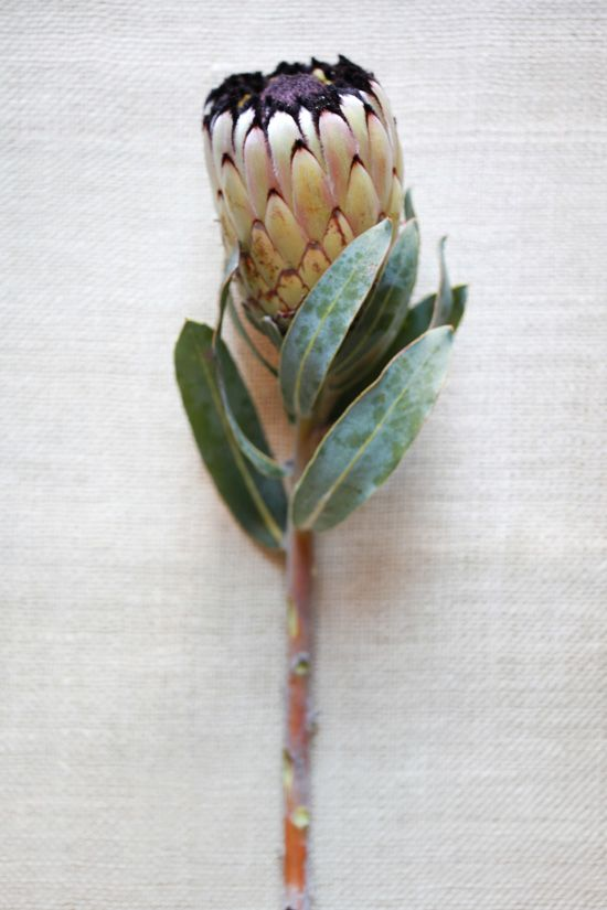 Mink protea. Adore these flowers, definitely using a bunch of natives.