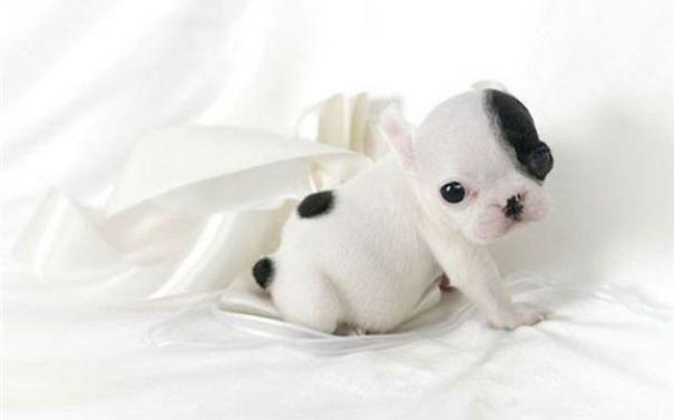 20 симпатичных щенков бульдога, которые растопят ваше сердце