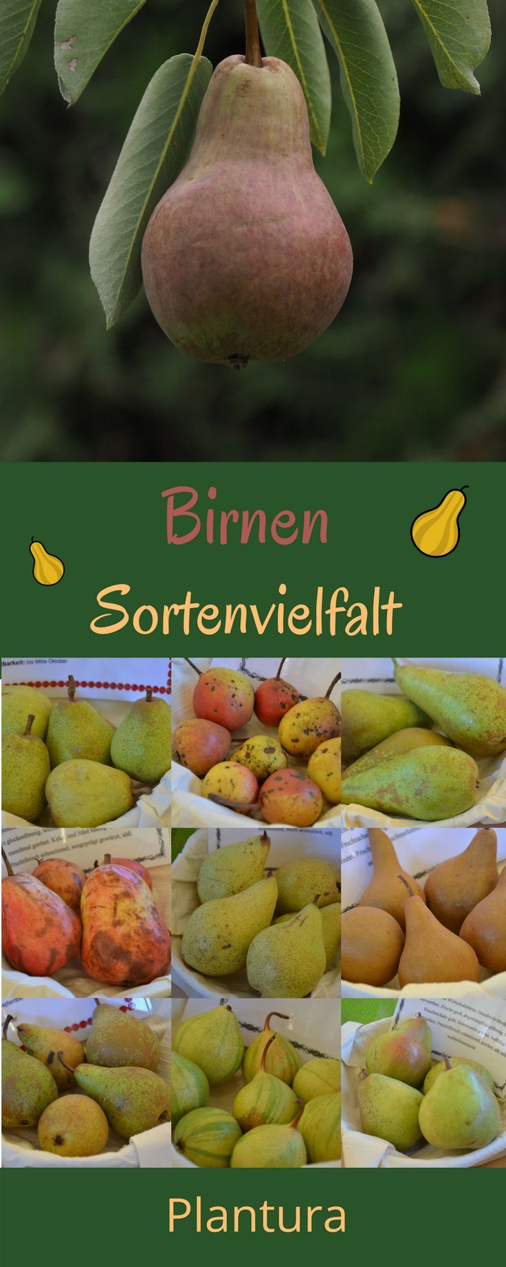 Die Sortenvielfalt der Birnen ist groß - das Lieblingsobst von Kindern (die Birne) gibt es in vielen verschiedenen Formen.