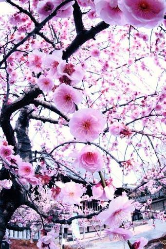 Blossom tree #SGSpringQueen