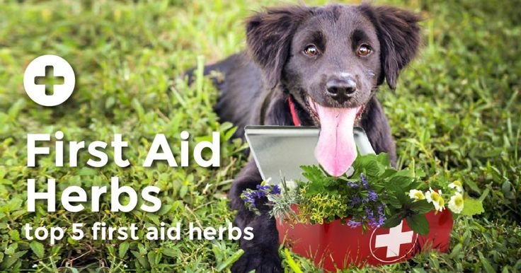 Unlike the usual antiseptic, antibacterial, immune-suppressing products found in most first aid kits, these amazing herbs will help your dog out not only in the short term, but they'll protect his immune system from the long-term damage those harsh products can cause.