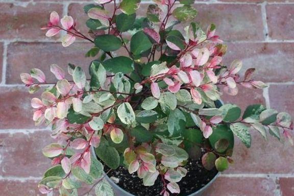 Breynia disticha 'Roseo-picta' (Snow Bush) Cutting