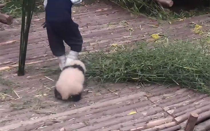 Πειραχτήρι Panda θέλει αγκαλιές και δεν αφήνει τον φροντιστή του να δουλέψει (βίντεο)