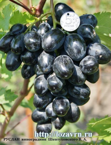 Руслан - стр. 3 - сорта винограда на Р - ВИНОГРАДНАЯ ЛОЗА