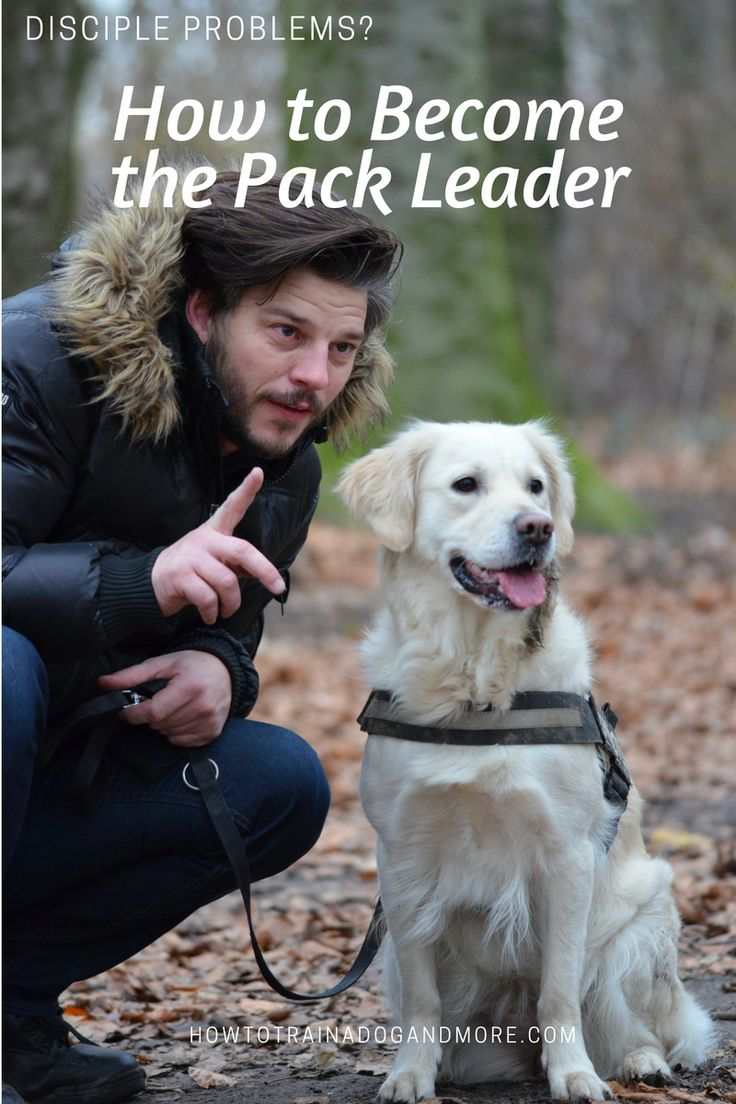 """Any dog owner should be asking this question, """"How do I become the pack leader?""""    Why?    This is how you control and manage your dog!     When you become the pack leader, you let your dog know that you are the main person in charge, the boss making the decisions and telling people what to do and how to do it."""