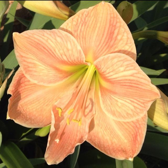 Amaryllis orange pinterest bulbs and amaryllis bulbs for Amaryllis sweet pink