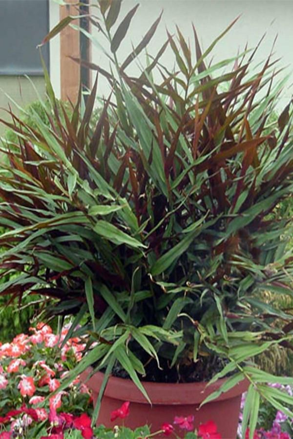 HIGHLIGHTS: Dwarf Bamboo Look Fragrant White Flowers Tight and Bushy Growth Habit This fragrant ginger looks like a dwarf bamboo bush. Great clumping habit. Pe