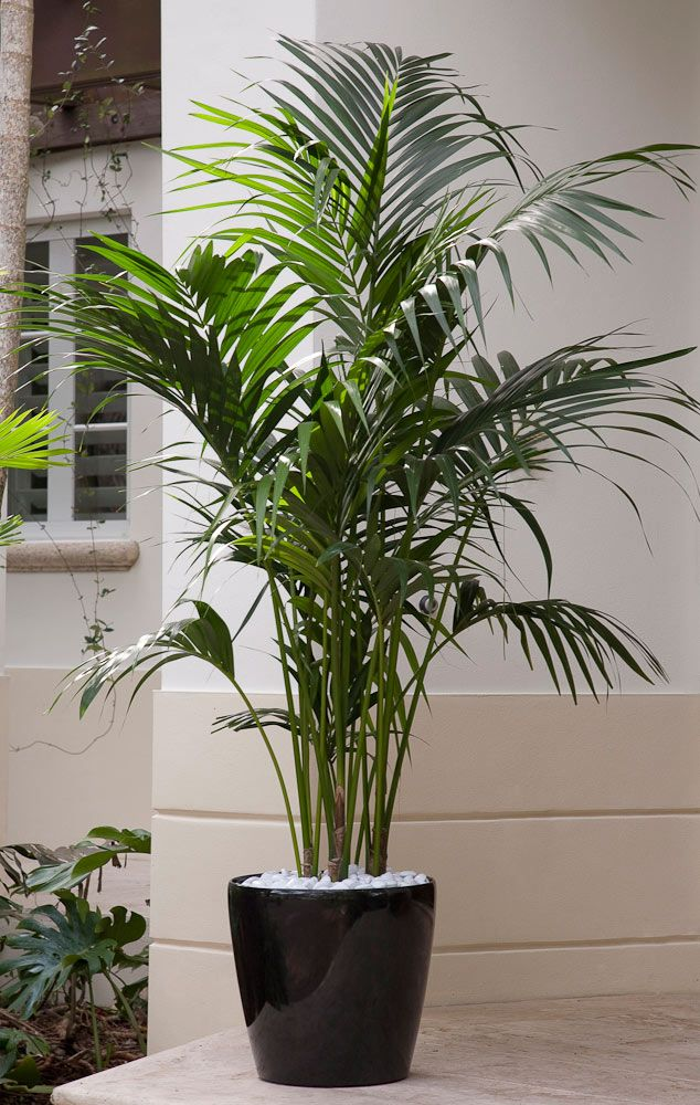 Elegant Palms for Every Setting | Costa Farms