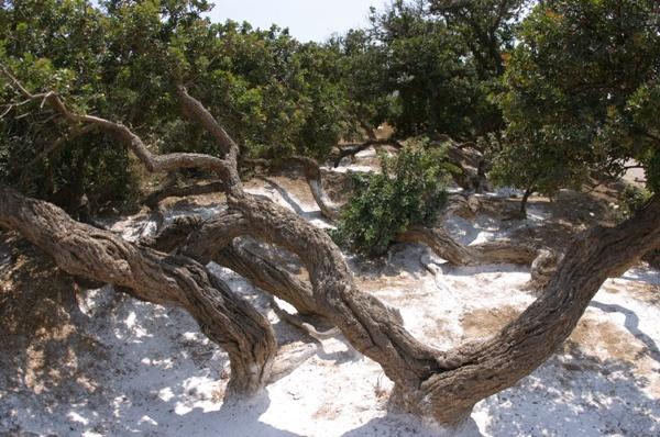 Sakız ağaçları