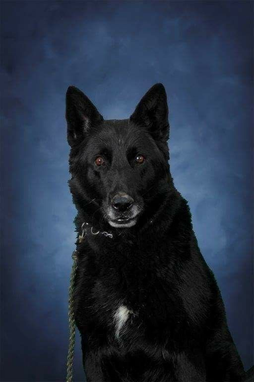 """K9 Trooper Andy.  Wish to extend my condolences to the Indiana State Police at Evansville and Master Trooper Kevin Waters for their sudden loss of K9 Trooper Andy.  ISP says Waters and Andy started working together in June 2008 and they worked side by side until his death. """"Andy was a great partner and I will never stop missing him,"""" said Trooper Waters. State police say Andy is credited with hundreds of narcotic seizures and multiple criminal apprehensions."""