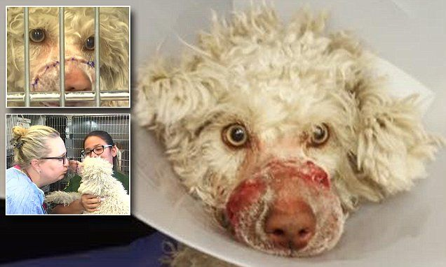 Poodle is rescued after he was found with muzzle tied shut