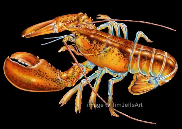 Just Finished My Drawing Of A Maine Lobster One Favorite Sea Creatures