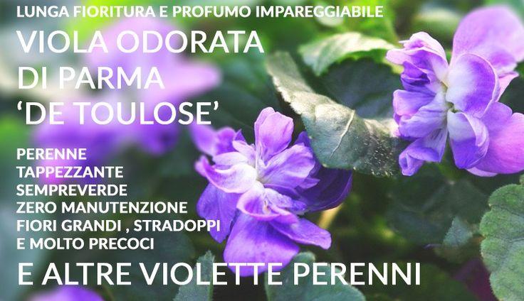 Viola odorata e altre piante da ombra luminosa/ombra profonda