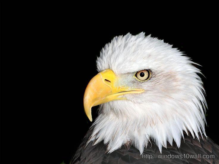 Eagle Head Desktop Background Wallpaper Bald Eagle Bald Eagle Pictures Eagle Pictures