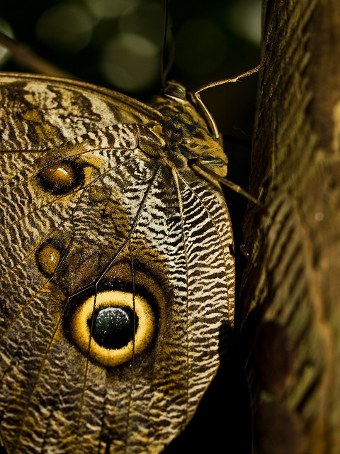.: Beautiful Butterflies, Camouflage Color Imataion, Beauty Butterflies, Amazing Things, Butterflies Photo, Animal Camouflage, Owl Butterflies, Canvases, Camouflagecolor Imataion