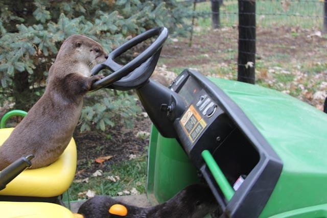 17 best images about stoats otters and other mustelid friends on pinterest rivers sea otter. Black Bedroom Furniture Sets. Home Design Ideas